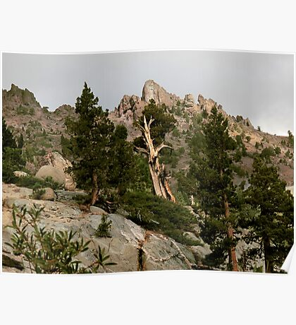 Cedar near Ebbets Pass Sierra Nevada California Poster