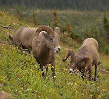 Glacier Rams by JamesA1