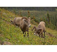 Glacier Rams Photographic Print