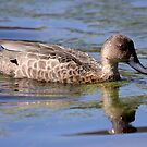 Australian Grey Teal by Kerryn Ryan, Mosaic Avenues