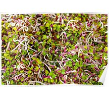 Macro of clover sprouts Poster