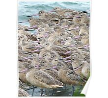 Togetherness - Marbled Godwits in Western Washington Poster