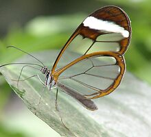GRETA OTO  GLASSWING BUTTERFLY by Johan  Nijenhuis