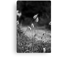 pussy willow grass Canvas Print