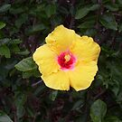 Brillant Hibiscus by Beverley  Johnston