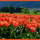 Natures Glorious Tulips! - NZ - Southland by AndreaEL