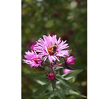 Bee on a Daisy Photographic Print