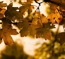 Autumn leaves by David Isaacson