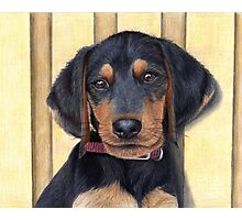 Beagle/Dachshund Puppy Photographic Print