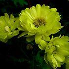 Amarillas ................................ by cieloverde