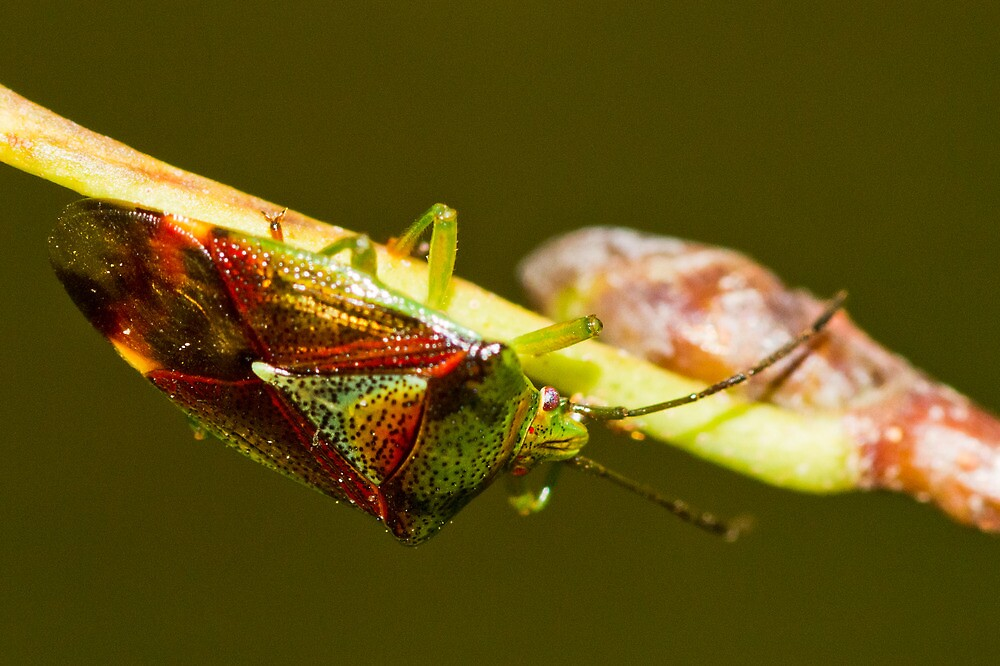 Shield Bug by Chris West