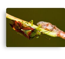 Shield Bug Canvas Print