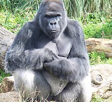 Silver Back Gorilla - Sitting by rullo
