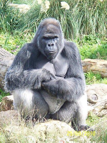 Gorilla Sitting Silver back gorilla - sitting