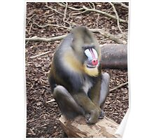 Mandrill at Artis Poster