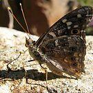 Butterfly ~ Empress Leilia by Kimberly Chadwick
