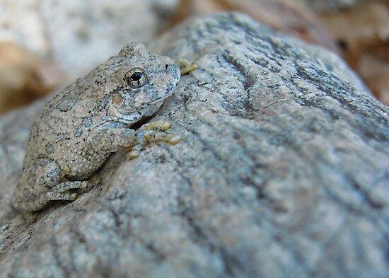 Canyon Treefrog by Kimberly Chadwick