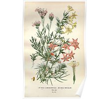 Favourite flowers of garden and greenhouse Edward Step 1896 1897 Volume 3 0104 Gilia Coronopifolia and Tricolor Poster