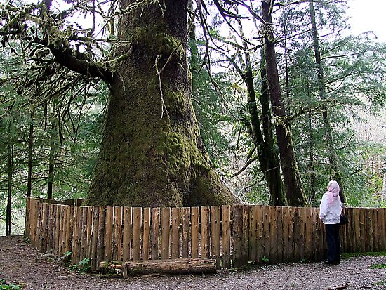 The Biggest Spruce Tree by George Cousins