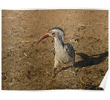 Southern Red Billed Hornbill in Black Rhino Reserve, South Africa Poster