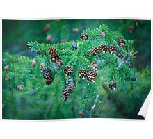 Coniferous Tree Branch with Cones Poster