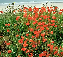 Poppies on the Coast, Brittany, France by David A. L. Davies