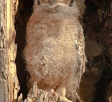 Baby Great Horned Owl by nikongreg