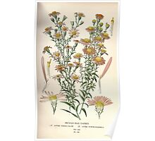Favourite flowers of garden and greenhouse Edward Step 1896 1897 Volume 2 0166 Michaelmas Daisies Poster