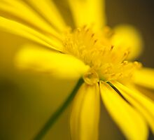 A yellow daisy to brighten my day! by MonicaMulder