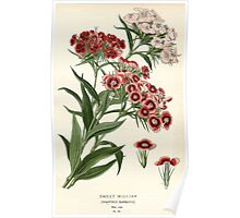 Favourite flowers of garden and greenhouse Edward Step 1896 1897 Volume 1 0114 Sweet William Poster
