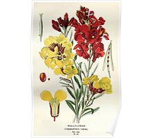 Favourite flowers of garden and greenhouse Edward Step 1896 1897 Volume 1 0078 Wallflower Poster
