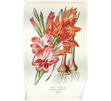Favourite flowers of garden and greenhouse Edward Step 1896 1897 Volume 4 0107 Ghent Corn Flag Poster