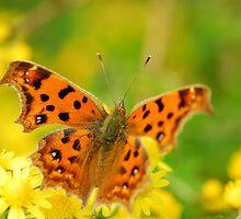 comma butterfly by davvi