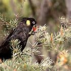 Yellow Tailed Black Cockatoo (Male) by Kim Roper