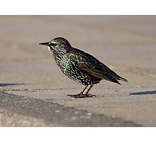 Starling Photographic Print