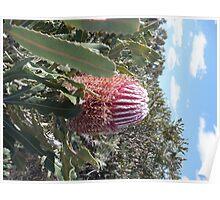 Banksia menziesii - Firewood Banksia Poster