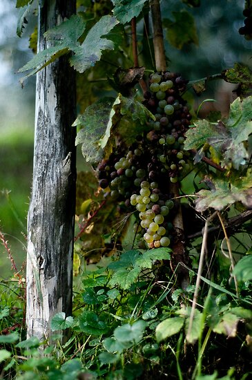 Grapes by Ilva Beretta