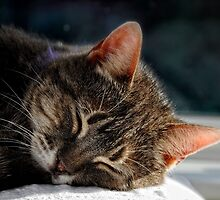 Sleep in the afternoon sun  (Jenny cat) by Karen  Betts