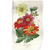 Favourite flowers of garden and greenhouse Edward Step 1896 1897 Volume 2 0199 Single Dahlia Poster
