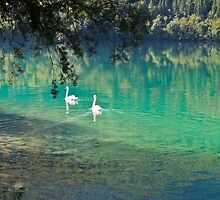 swans on the 'clear water of a lake (Italy) by alicara