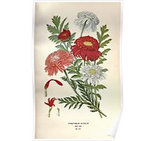 Favourite flowers of garden and greenhouse Edward Step 1896 1897 Volume 2 0229 Pyrethrum Roseum Poster