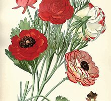Favourite flowers of garden and greenhouse Edward Step 1896 1897 Volume 1 0030 Ranunculus Asiaticus by wetdryvac