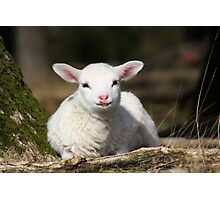 Lamb in Spring Photographic Print