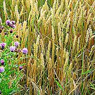 Corn And Thistles by Fara