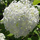 Hydrangea - Scottish front garden by Sarah Howes