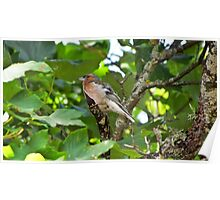 Bird - Finch laying on branches hidden by leaves Poster