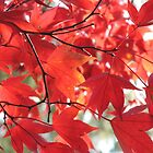 The beauty that is an autumnal acer by Sarah Howes