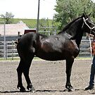 Gorgeous Percheron Mare by Al Bourassa