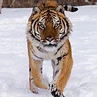 Siberian Tiger 42 by mrshutterbug