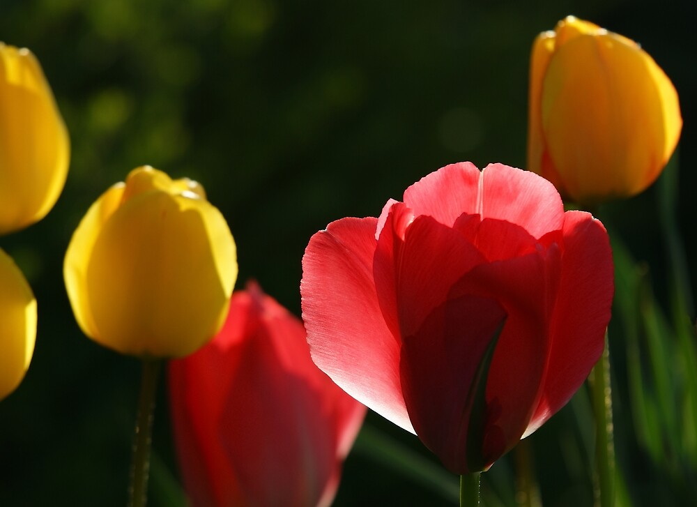 """Tulips against the light at """"Oaklands"""" by Ian Midwinter"""